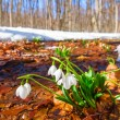 White snowdrops in a spring forest — Stock Photo #58779927