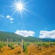 Vineyard scene — Stock Photo #60032529