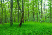 Green beech forest glade — Stock Photo