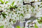 Blossom cherry branch — Stock Photo