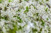 Flowered cherry tree — Stock Photo