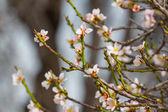 Closeup almond flowers — Fotografia Stock