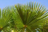 Closeup palm branch — Stock Photo