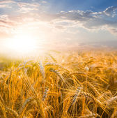 Summer field at the sunset — Stock Photo