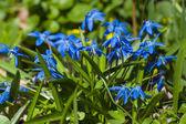Closeup blue snowdrop bush — Stock Photo