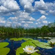 Beautiful summer river with lilies — Stock Photo #71407509