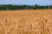Campo de trigo de verano — Foto de Stock