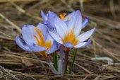 Beautiful spring crocus — Stock Photo