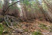 Sceny lasu sosnowego — Zdjęcie stockowe