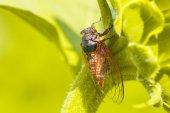 Big cicada sitting on a leaf — Stock Photo