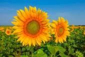 Beautiful closeup sunflowers — Stock Photo