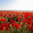 Red poppy field at the morning — Stock Photo #76442129