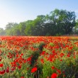 Early morning red poppy field — Stock Photo #76442697