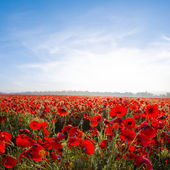 Early morning red poppy field — Stock Photo