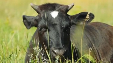 Vaca descansando — Vídeo de stock
