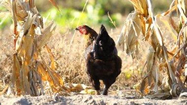 Chicken peck a corn — Stock Video