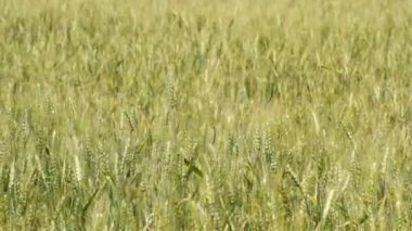 Unripe wheat — Stock Video