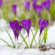 Violet crocuses — Stock Photo #58868255