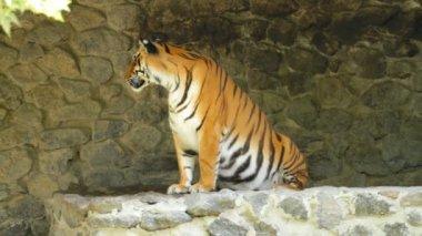 Sibirischer tiger — Stockvideo