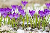 Beautiful violet crocuses  — Stock Photo