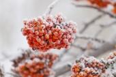 Rowanberry tree — Stock Photo