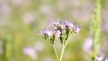 Bee Pollinate  phacelia flower — Stock Video