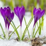 Beautiful violet crocuses — Stock Photo #62346805