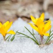 Blossom yellow crocuses — Stock Photo #63421807
