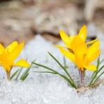Blossom yellow crocuses  — Stock Photo #63421807