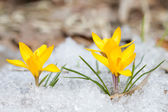 Blossom yellow crocuses  — Stock Photo