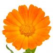 Orange calendula flower — Stock Photo #65104059
