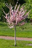 Blossom sakura tree  — Stock Photo