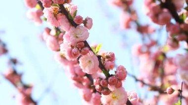 Blossom pink sakura tree with  slider and singing nightingale — Stock Video
