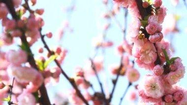 Blossom pink sakura tree  and singing nightingale — Stock Video