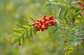 Branch of rowan berries — Stock Photo