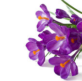 Spring bouquet of purple crocuses isolated on white background — Stockfoto