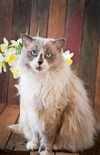 Cat with blue eyes with narcissus flowers — Stock Photo