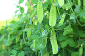 Green pea pods outdoors — Stockfoto