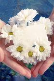Chrysanthemum with blank card — 图库照片
