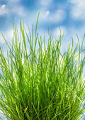 Patch of fresh green grass — Stock Photo