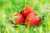 Ripe strawberries on green grass — Stock Photo