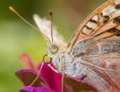 Colorful butterfly collecting pollen from flowers — Stock Photo