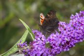 Colorful butterfly collecting pollen from flower budleje — Stock Photo
