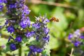 The bee in flight collecting pollen from a blue flower — Stock Photo