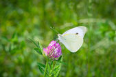 White butterfly collects pollen from clover blossom — Stock Photo