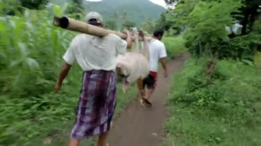 Men carry pig for slaughter — Stock Video