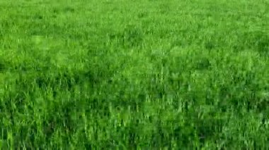 Grass rice in wind — Stock Video