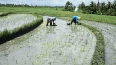 Rice farmers planting stalk crop — Stock Video