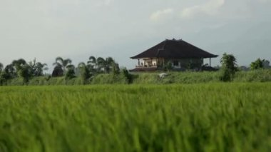 House in paddy field — Stock Video