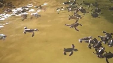 Baby turtles swimming in a pool — Vídeo de Stock
